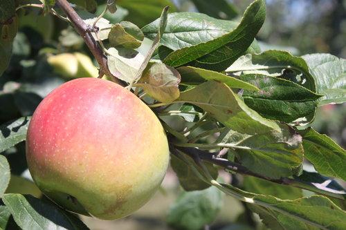 applessweetberry